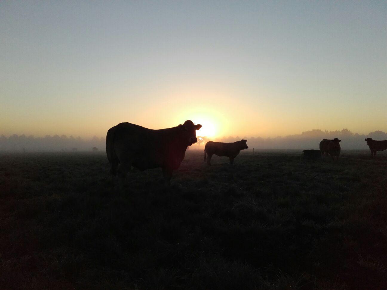 koeien buiten in de winter